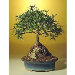 Root Over Rock Willow Leaf Ficus Bonsai Tree