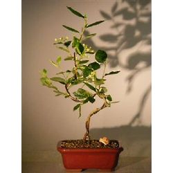 Curved Trunk Flowering Cotoneaster Bonsai Tree