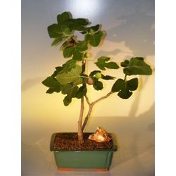 Brown Turkey Fig Bonsai Tree