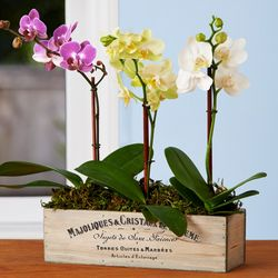 Assorted Mini Orchid Trio