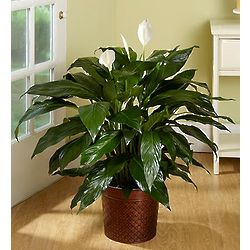 Spathiphyllum Floor Plant in Bronze Tin Planter