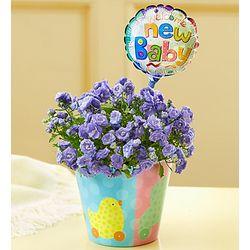 New Baby Celebrations Purple Campanula Plant