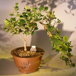 Cascade Style Mistletoe Fig Bonsai Tree