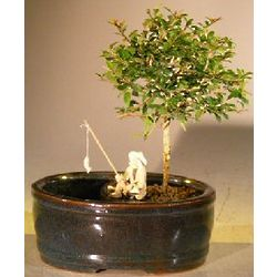 Flowering Tropical Boxwood Bonsai Tree with Fisherman Figurine