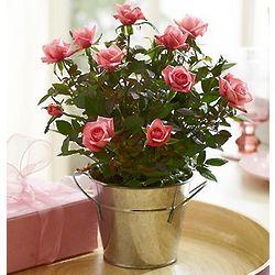 Perfectly Pink Rose Bush