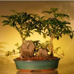 Double Planted Hawaiian Umbrella Bonsai Tree