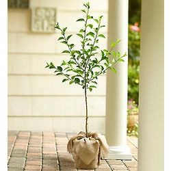 Apple Tree for Outdoors