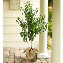 Peach Tree for Outdoors