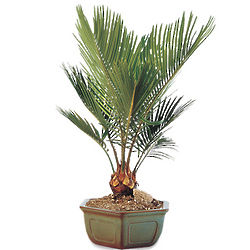 Sago Palm Bonsai