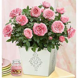Blooming Pink Roses