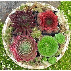 Succulent Plant Gift Basket
