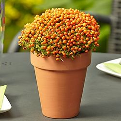 Pin Cushion Plant