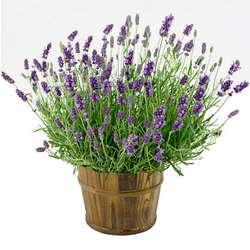 English Lavender Plant