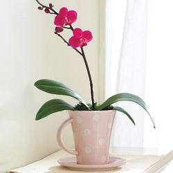Miniature Orchid in Teacup Planter