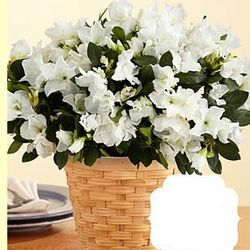 Comforting Thoughts Potted White Azalea