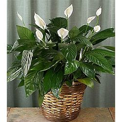 Sympathy Peace Lily in Basket