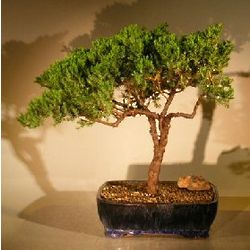 12 Year Old Juniper Bonsai Tree