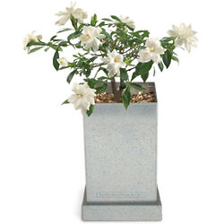 White Gardenia Bonsai