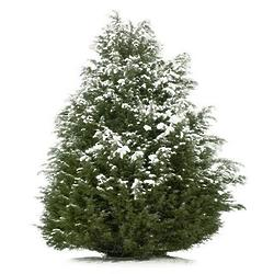 2' Colorado Blue Spruce Tree