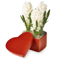 White Hyacinths in Red Heart Box