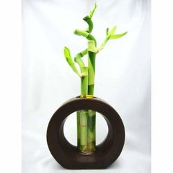 Live Spiral 3 Style Lucky Bamboo Plant Arrangement