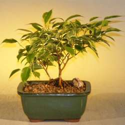 Variegated Ficus Benjamina Bonsai Tree