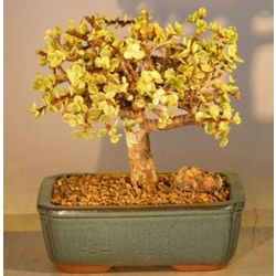 Baby Jade Aged Variegated Bonsai Tree