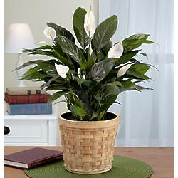 Lush Tropical Potted Lily Plant