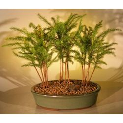 Three Tree Forest Group Norfolk Island Pine Bonsai