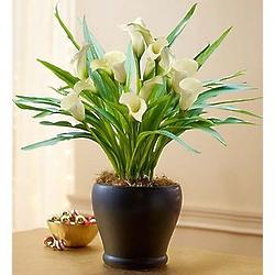 Sophisticated White Calla Lily Bouquet with Ceramic Vase