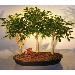 3 Tree Group Oriental Ficus Bonsai