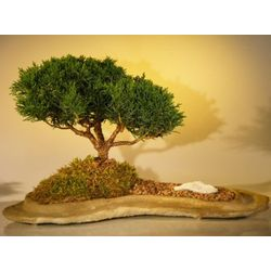 Shimpaku Juniper Bonsai Tree Planted on a Rock Slab