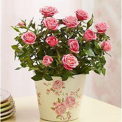Classic Budding Rose Plant for Sympathy