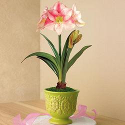 Pink Surprise Amaryllis Plant
