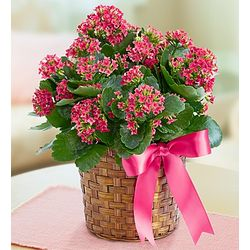 Blooming Kalanchoe Plant in Woven Basket
