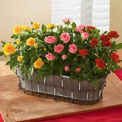 Mini Rose Garden Gift