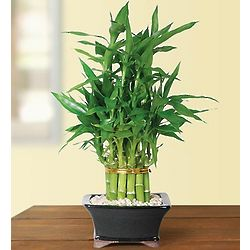 Pyramid 21 Stalk Lucky Bamboo Plant