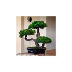 Monterey Triple Trunk-Preserved Bonsai Tree