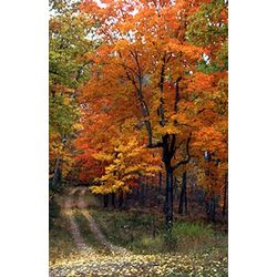 Autumn Maple Tree Photographic Print