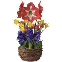 Amaryllis and Tulip Bulb Garden