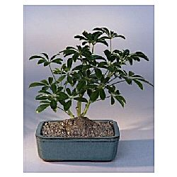 Hawaiian Umbrella Bonsai Tree with Lava Rock in Pot