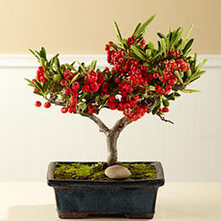 Christmas Berries Bonsai