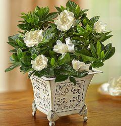 Grand Gardenia in Victorian Planter