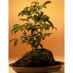 Small Hawaiian Umbrella Bonsai Tree in Lava Rock
