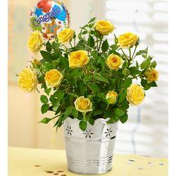 Congratulations Yellow Rose Plant
