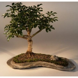 Hawaiian Umbrella Bonsai Tree on a Rock Slab