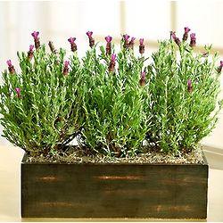 Modern Lavender Trio in Wooden Window Box