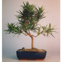 Styled Podocarpus Bonsai Tree