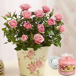 Classic Pink Budding Rose Plant