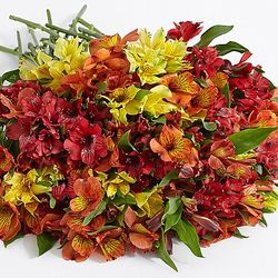 200 Blooms of Autumn Peruvian Lilies